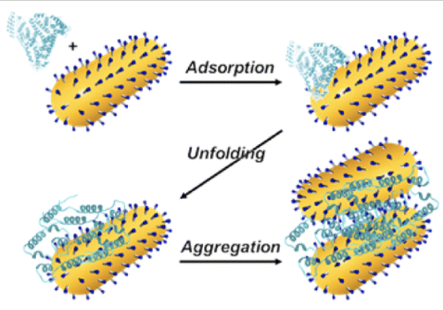 Adsorption and Unfolding of a Single Protein Triggers Nanoparticle Aggregation