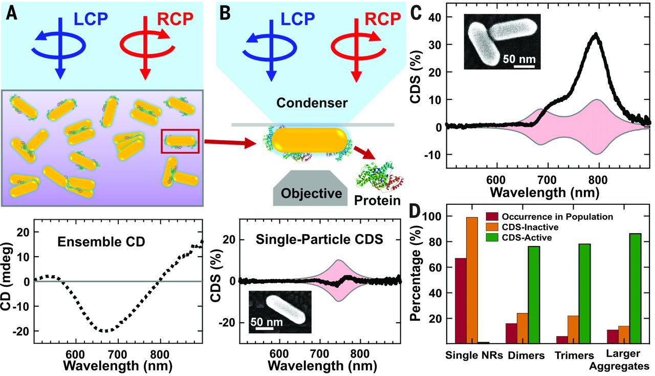 Unraveling the origin of chirality from plasmonic nanoparticle-protein complexes